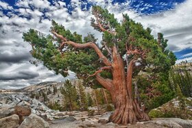 آیا درختان میتوانند عمر جاودانه داشته باشند؟